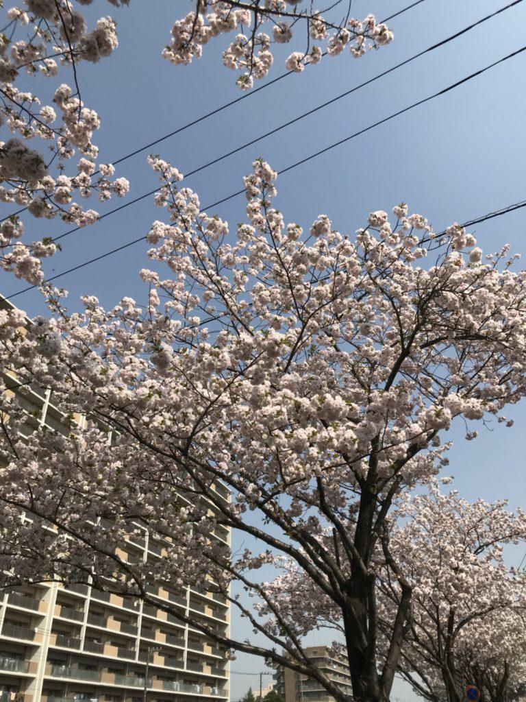 桜が持ってきたエスエーエルイー!